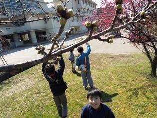 桜のつぼみが大きくなっているね。