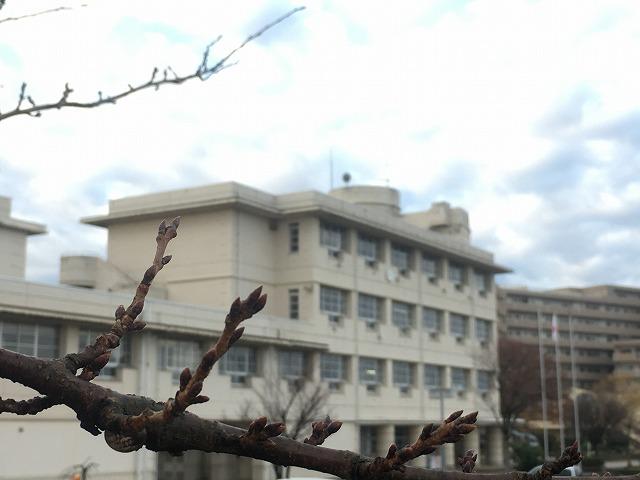 来春を待つ桜の芽